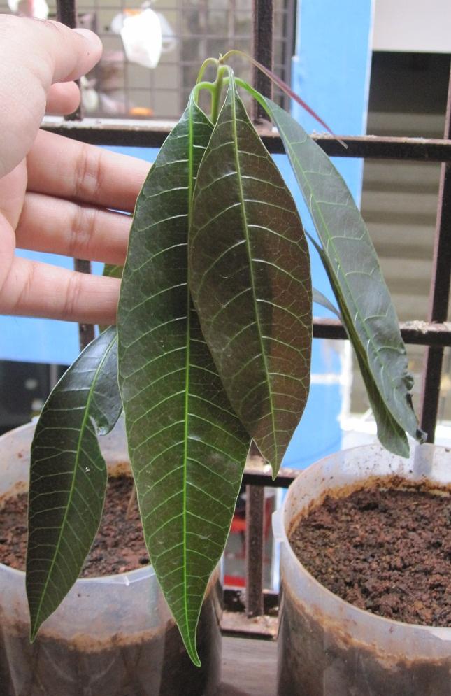 Mango Fruit Opened, Showing Seeds Inside, Mangifera Indica ...  |Mango Seed Inside